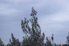 Конец-вверх снял верхней ветви оливкового дерева Стоковое Изображение RF
