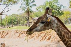 Конец-вверх снял жирафа перед деревьями, его ` s есть некоторое Стоковое Изображение