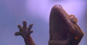 Конец-вверх снятый зеленой лягушки касаясь стеклу аквариума спокойно и дыша глубоко в terrarium сток-видео