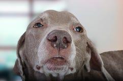 Конец-вверх снятый собаки weimaraner стоковые изображения rf