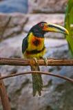 Бледное-mandibled Aracari Стоковые Фотографии RF