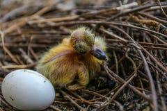 Конец-вверх снял newborn птицы голубя с яичком на гнезде Стоковые Фотографии RF