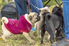Конец-вверх собаки мопса Стоковая Фотография