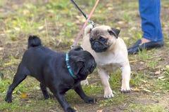 Конец-вверх собаки мопса Стоковые Фотографии RF
