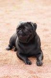 Конец-вверх собаки мопса Стоковое Фото
