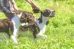 Конец-вверх собаки сеттера Стоковое фото RF