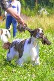 Конец-вверх собаки сеттера Стоковые Фотографии RF
