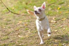 Конец-вверх собаки чихуахуа Стоковое Изображение RF