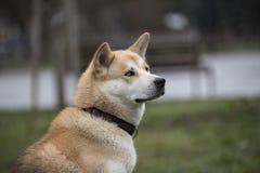 Конец-вверх собаки inu akita Селективный фокус Селективный фокус Стоковое Изображение RF