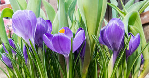 Конец-вверх сочных живых фиолетовых и белых крокусов и зеленых тюльпанов выходит на парник Стоковое Изображение