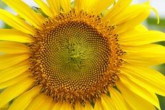Конец-вверх солнцецвета в поле Стоковая Фотография RF