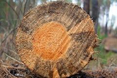Конец-вверх ствола дерева стоковое изображение rf