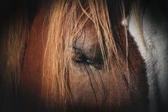 Конец-вверх стороны коричневой, аравийской лошади с затенять стоковое фото rf