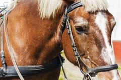 Конец-вверх стороны лошади в проводке Стоковое Фото