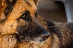 Конец-вверх стороны собаки немецкой овчарки Красивый портрет собаки немецкой овчарки стоковые фотографии rf