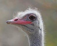 Конец-вверх страуса Стоковые Фото