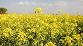 Конец-Вверх сухих семян над стерженями миндалины предпосылки сухими на фронте сток-видео