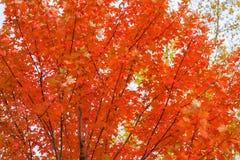 Конец-вверх сценарного красивых ярких красочных ветвей осени красного клена на предпосылке неба Падение приходило, реальный Стоковые Фото