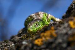 Конец-вверх съемки гада Верткая зеленая ящерица & x28; Viridis ящерицы, agilis ящерицы & x29; крупный план, греясь ontree под сол Стоковые Фото
