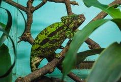 Конец-вверх с зеленым хамелеоном Стоковые Изображения RF