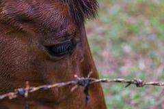 Конец вверх тайской головы лошади за колючкой провода Стоковые Изображения