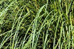Конец-вверх травы Стоковая Фотография