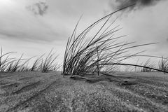 Конец-вверх травы Marram в черно-белом Стоковые Изображения RF