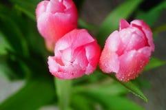 Конец-вверх тюльпана, красивые цветки тюльпана Стоковые Фото