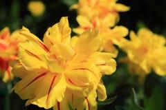 Конец-вверх тюльпана желтого цвета Терри стоковые фото