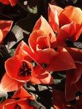 Конец-Вверх тюльпана Стоковое Изображение