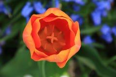 Конец-Вверх тюльпана Стоковая Фотография