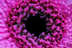 Конец-вверх уникально горячего пинка яркий и красивый цветка Стоковое Изображение
