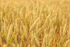 Конец-вверх ушей пшеницы в свете вечера Стоковая Фотография RF