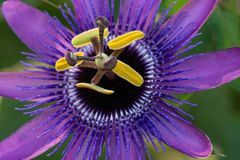 Конец-вверх фиолетового цветка страсти стоковое изображение rf