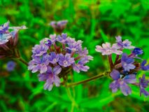 Конец вверх фиолетового цветка в луге стоковое изображение