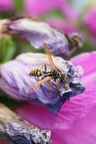 Конец-вверх флористического кавказского nimpha Polistes оси усаженного на fa стоковые изображения