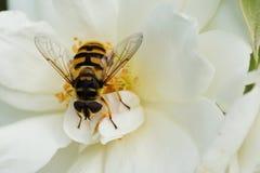 Конец-вверх флористической кавказской мухы hoverfly рода Dasysyr стоковое изображение