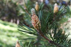 Конец-вверх фото coniferous ветви с молодым конусом Стоковая Фотография