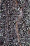 Конец-вверх хобота сосны с расшивой и мхом Стоковое Фото