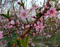 Конец-вверх цветений персика Стоковая Фотография RF