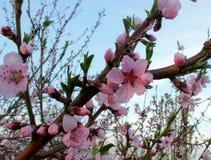 Конец-вверх цветений персика Стоковое Изображение RF