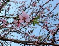 Конец-вверх цветений персика Стоковое Фото