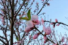 Конец-вверх цветений персика Стоковая Фотография