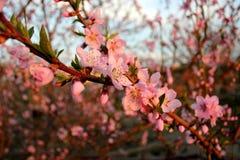 Конец-вверх цветений персика Стоковые Изображения