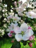Цветения Яблока Стоковое фото RF