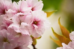 Конец-вверх цветений Яблока стоковая фотография rf