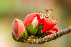 Конец-вверх цветений bombax Стоковые Изображения RF