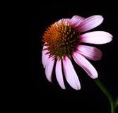 Конец-вверх цветения эхинацеи стоковые изображения