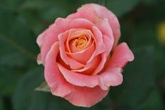 Конец-вверх цветка белого и розового чая розового стоковое фото rf