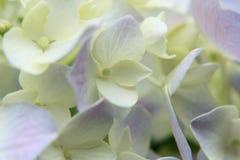 Конец-вверх цветка гортензии Стоковая Фотография RF